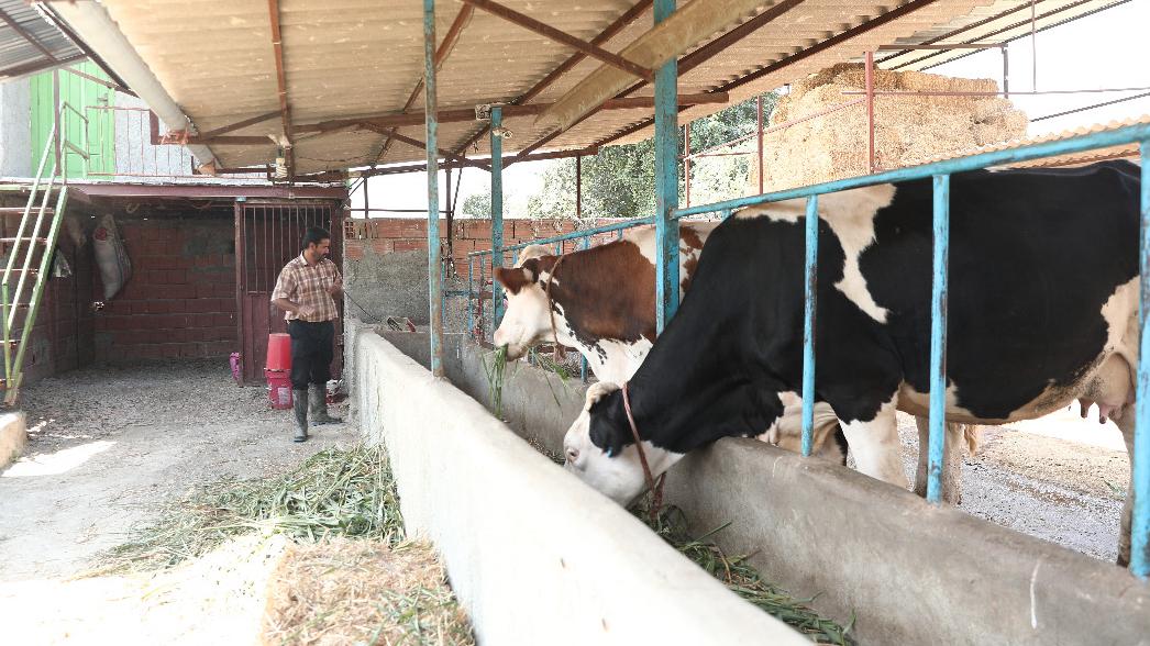 با تشکیل زنجیره تولید و فروش گوشت قرمز محقق شد؛ 180 هزار شغل برکت در حوزه پرورش دام سبک و سنگین